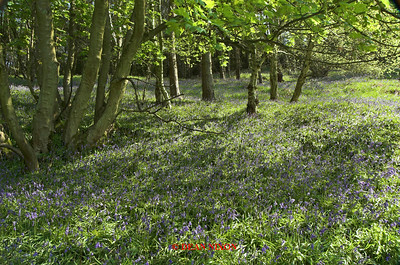 BLUEBELLS AT DANEBRIDGE, CHESHIRE 0084