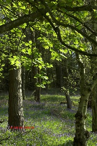 BLUEBELLS AT DANEBRIDGE, CHESHIRE 0080