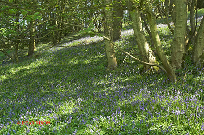 BLUEBELLS AT DANEBRIDGE, CHESHIRE 0085