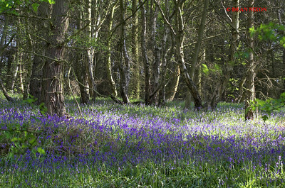 BLUEBELLS AT DANEBRIDGE, CHESHIRE 0065