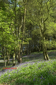 BLUEBELLS AT DANEBRIDGE, CHESHIRE 0076