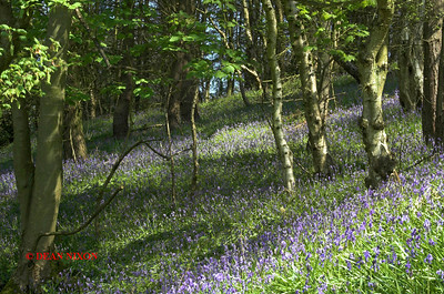 BLUEBELLS AT DANEBRIDGE, CHESHIRE 0078
