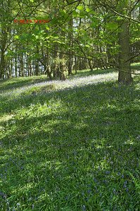 BLUEBELLS AT DANEBRIDGE, CHESHIRE 0074
