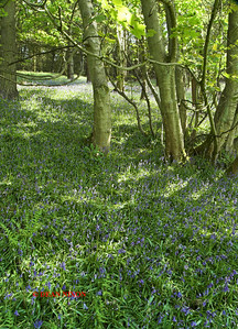 BLUEBELLS AT DANEBRIDGE, CHESHIRE 0086