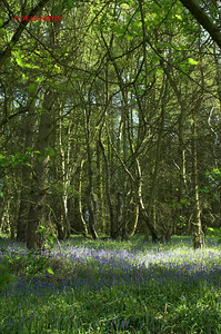 BLUEBELLS AT DANEBRIDGE, CHESHIRE 0063