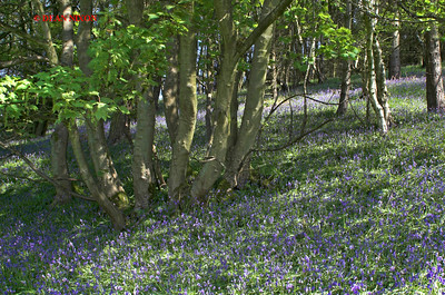 BLUEBELLS AT DANEBRIDGE, CHESHIRE 0061