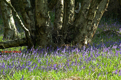 b>BLUEBELLS AT DANEBRIDGE, CHESHIRE 0075