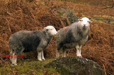 SHEEP ON CONISTER PASS, LAKE DISTRICT 0294