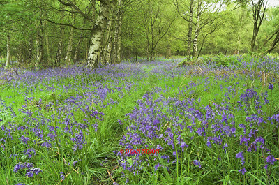 BLUEBELLS AT TRENTHAM GARDENS 0088