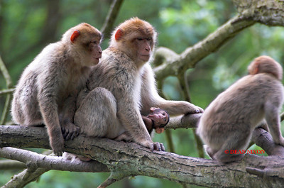 BARBARY MACAQUE MONKEY 0059