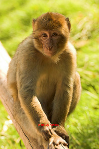 BARBARY MACAQUE MONKEY 0019