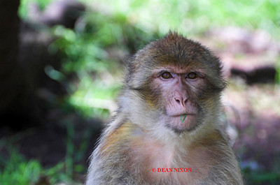 BARBARY MACAQUE MONKEY 0010