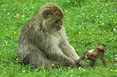 BARBARY MACAQUE MONKEY 0051