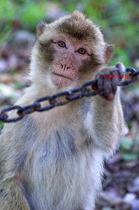 BARBARY MACAQUE MONKEY 0011