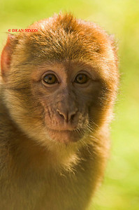 BARBARY MACAQUE MONKEY 0018