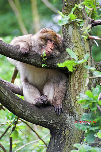 BARBARY MACAQUE MONKEY 0048