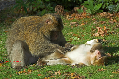 BARBARY MACAQUE MONKEY 0145