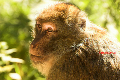 BARBARY MACAQUE MONKEY 0013