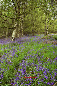 BLUEBELLS AT TRENTHAM GARDENS 0087