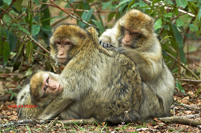 BARBARY MACAQUE MONKEY 0096