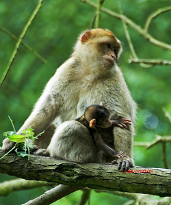 BARBARY MACAQUE MONKEY WITH YOUNG LESS THAN ONE DAY OLD 0049