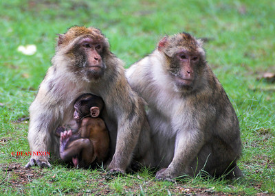 BARBARY MACAQUE MONKEY 0054