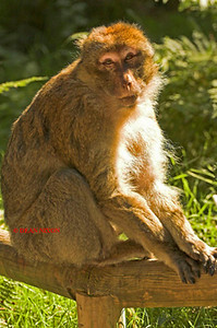 BARBARY MACAQUE MONKEY 0007