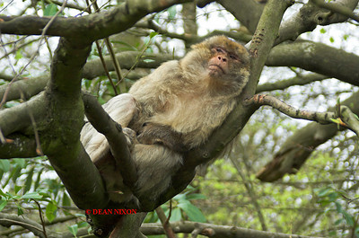 BARBARY MACAQUE MONKEY 0095