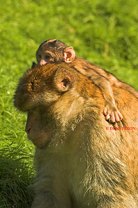 BARBARY MACAQUE MONKEY 0016