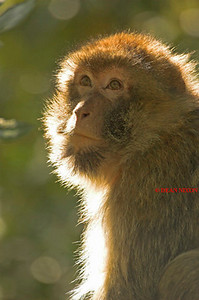 BARBARY MACAQUE MONKEY 0014