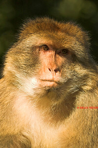 BARBARY MACAQUE MONKEY 0015
