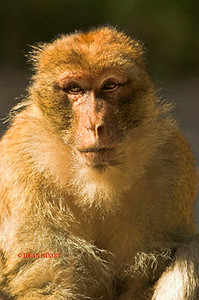 BARBARY MACAQUE MONKEY 0009