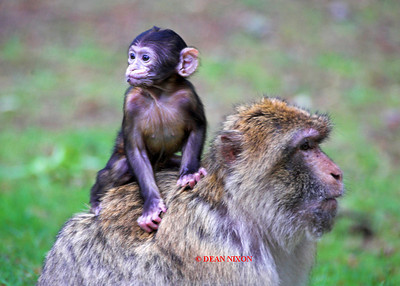 BARBARY MACAQUE MONKEY 0055