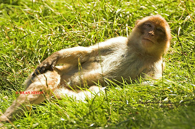 BARBARY MACAQUE MONKEY 0020