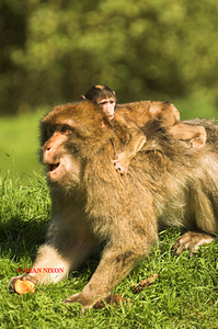 BARBARY MACAQUE MONKEY 0017