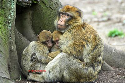 BARBARY MACAQUE MONKEY 0094