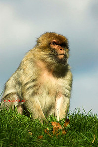 BARBARY MACAQUE MONKEY 0006