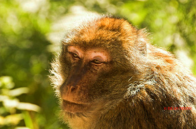 BARBARY MACAQUE MONKEY 0008