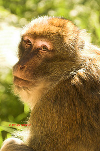 BARBARY MACAQUE MONKEY 0012