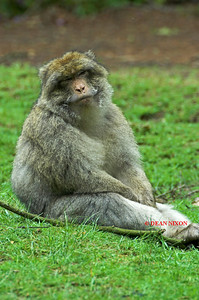 BARBARY MACAQUE MONKEY 0053