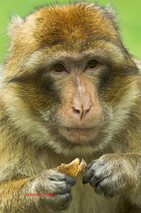 BARBARY MACAQUE MONKEY 0093