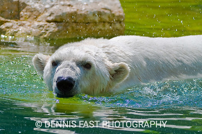 DEBBY THE OLDEST POLAR BEAR IN THE WORLD  I was privileged to photograph Debby on July 17, 2007, just a bit more than a year before her death. As you can see from my portfolio of photos, Debby could still be quite frisky in the water. She seemed to enjoy shaking her head after a dive and sending water flying in all directions. The need for a new set of dentures didn't keep her from smiling obligingly for my camera.