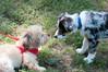 DRHC Dog Show 2012-5259