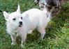 DRHC Dog Show 2012-5218