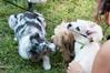 DRHC Dog Show 2012-5226
