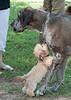 DRHC Dog Show 2012--2