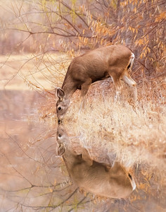 Deer reflection