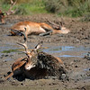 Red deer cool off  in the river in Richmond Park in August heatwave.