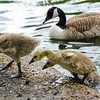 Canada Geese goslings in Wandsworth Common.