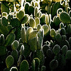 """Glowing Thorns"" - Thorns glow on these cactus. Spotted in South Pasadena, California, USA."